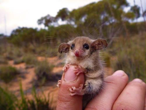 Western pygmy possum