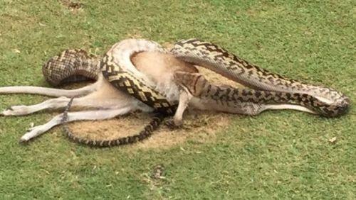 python-scoffs-wallaby